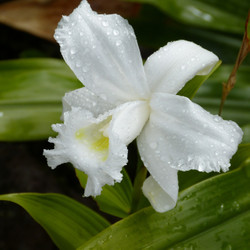 Orchid516769_1920