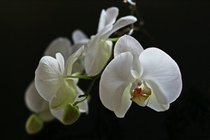 Orchid535212_1920